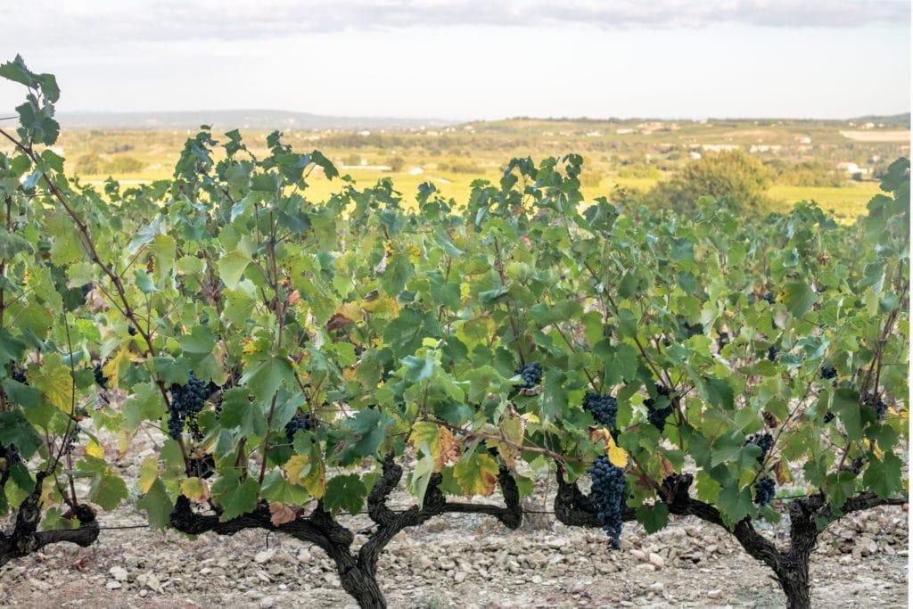 vigne vignoble domaine du parandou, Sablet